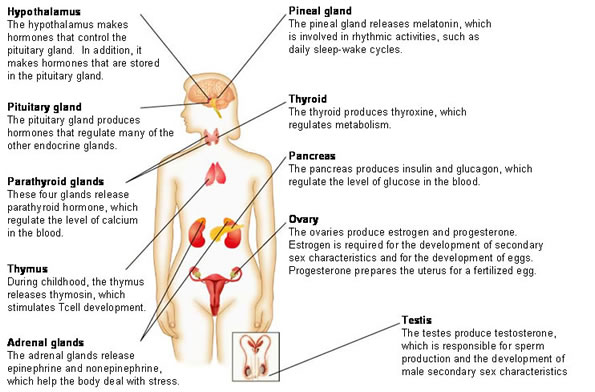 09 Endocrine Glands